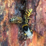 Bees on sap_SMALL