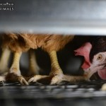 24617_wire-floor-egg-farm-australia-2013_jo-anne-mcarthur